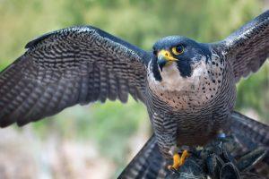 Ptica Soko simbol pobede i slobode